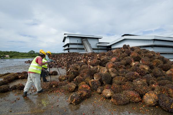 Workers sorting Oil Palm fruit, Bintulu, Sarawak, Malaysia